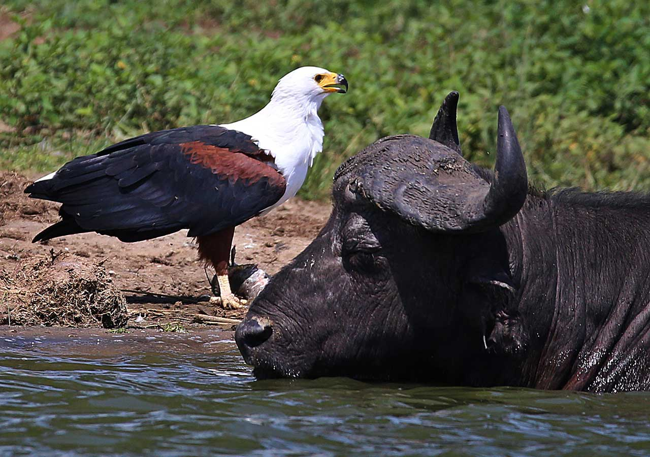 uganda safaris big game